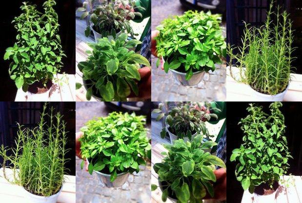 Le Piante Aromatiche : Le erbe aromatiche silvio cicchi