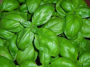 Grow Basil at Home