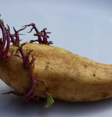 Come Non Fare Germogliare le Patate